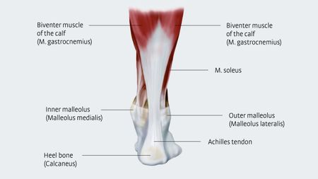 Anatomy and importance of the Achilles tendon