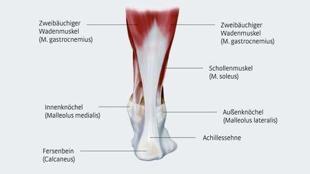 Anatomie der Achillessehne