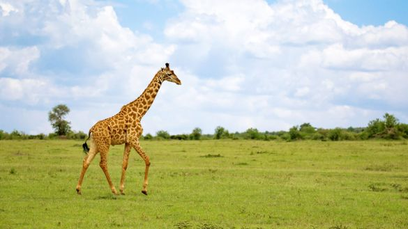 The giraffe as inspiration by nature: History of the circaid products