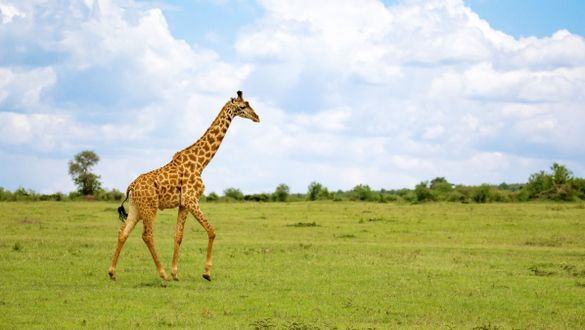 What do giraffes have to do with compression?