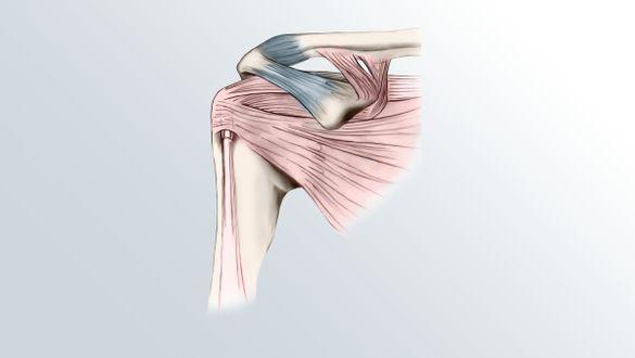 Shoulder: Structure of the shoulder joint