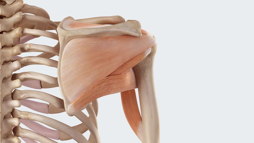 Rotator cuff: Guide and stabilisation of the shoulder joint